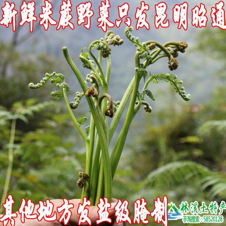 林溪土特产云南昭通大关山里采的野生米蕨菜龙瓜野菜新鲜腌制包邮