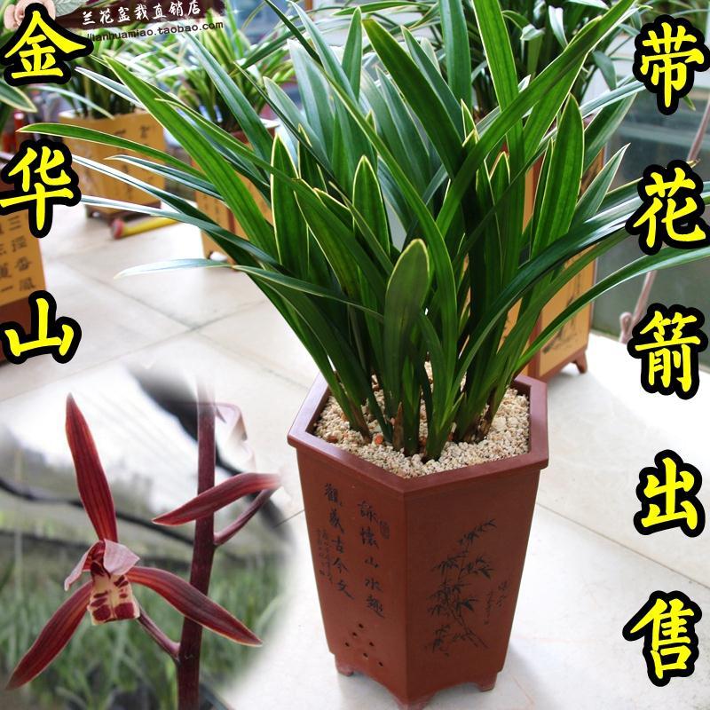 刘阁兰花苗墨兰金华山报岁兰盆栽冬带花苞出售金边兰花草室内花卉