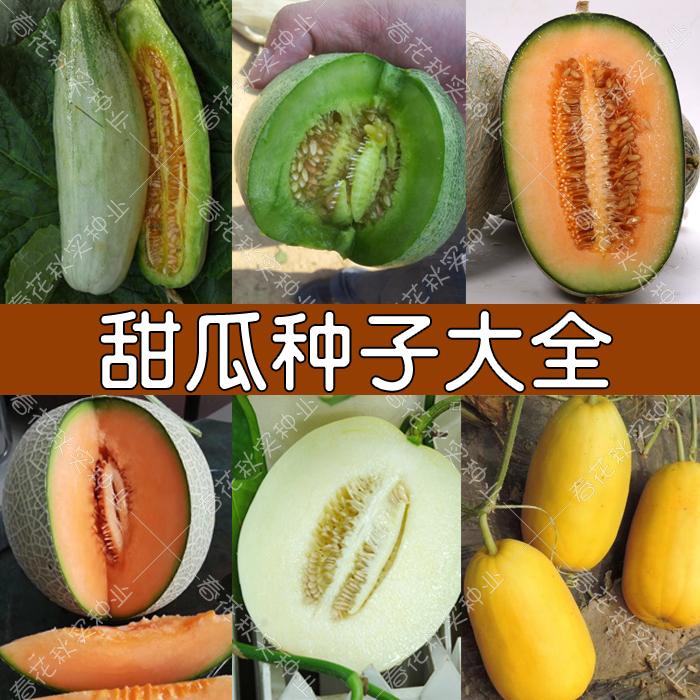 高糖羊角蜜甜瓜甜宝种子 哈密瓜洋香瓜水果籽 春四季高产好吃超甜