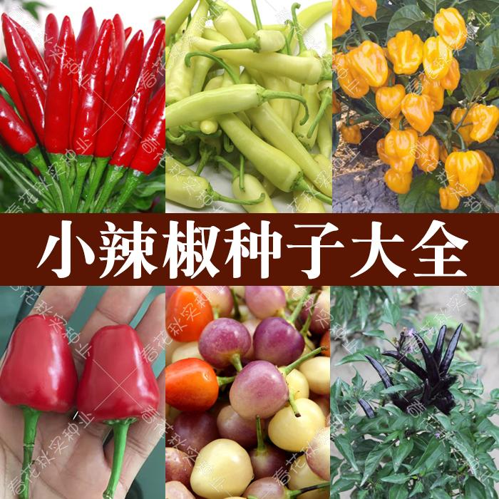 海南黄灯笼椒朝天椒小米椒辣椒种子 春四季蔬菜籽阳台盆栽超辣孑