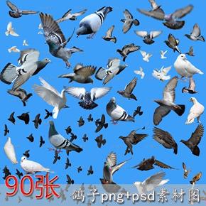 动物鸽子png图片和平鸽白鸽灰鸽免抠透明ps素材图后期设计拼接图