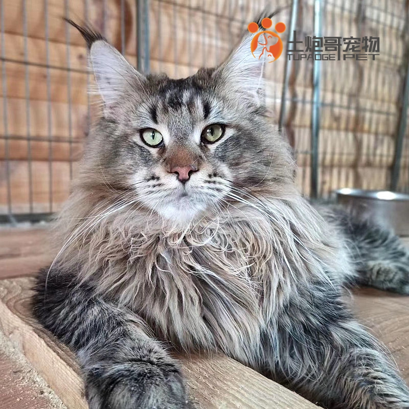 Clay gun pet cat live American Maine Coon big cat purebred polychaete color can choose gold