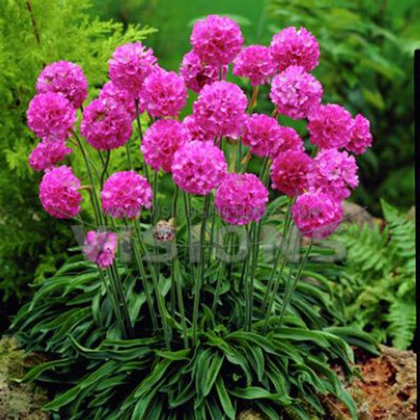 海石竹重瓣种籽阳台易种易活室内花卉夏季散装种子四季开花不断