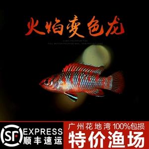 火焰变色龙鱼 2CM左右 热带鱼 观赏鱼 活体