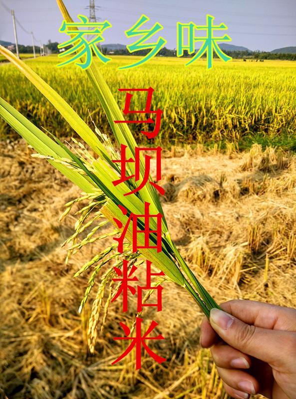 100斤装正宗马坝油粘米自产自销农家米香米大米优质新米晚稻米香