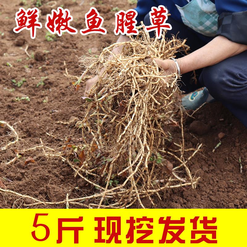 Свежий сложить ухо корень прохладно смешивать что еда гуйчжоу специальный свойство сельское хозяйство домой фестиваль сторона ребенок корень дикий ток копать 5 джин пакет mail рыба рыбный трава