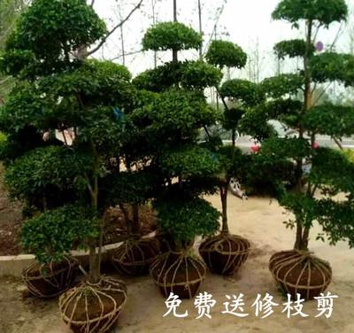 苗圃直销小叶女贞造型盆景树桩球形树苗庭院别墅绿化植物小区绿化