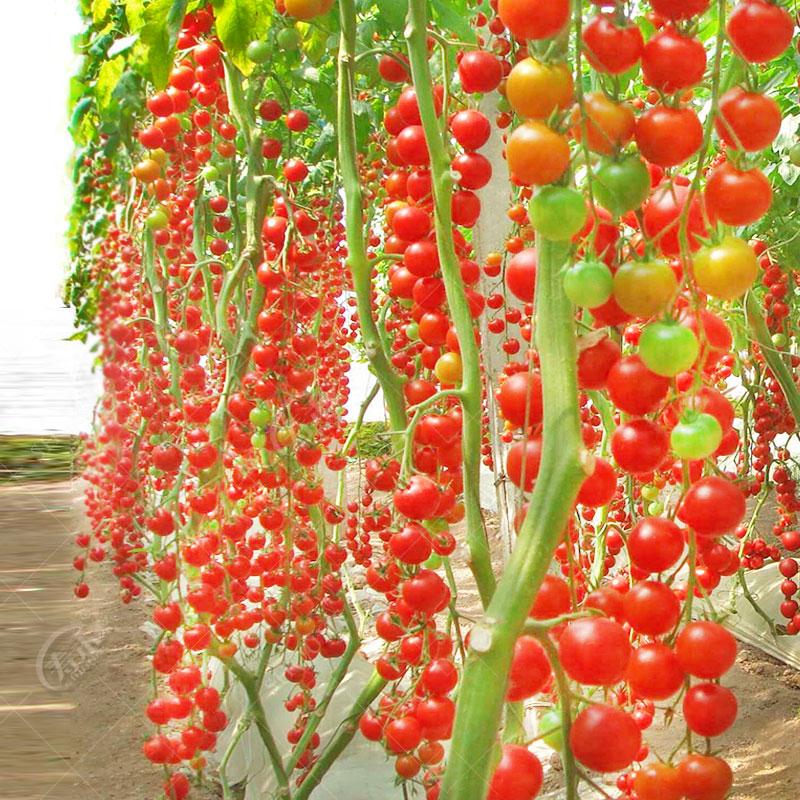 瀑布小番茄种子 高产圣女果樱桃西红柿四季播盆栽蔬菜苗 圣女果苗
