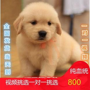 纯种金毛犬幼犬活体狗狗导盲犬金毛巡回猎犬家养大头幼犬金毛血统