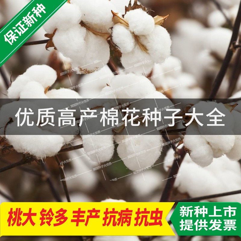 Cotton seed Daquan national audit cotton seed field seed resistant to insect pest resistant continuous cropping lazy cotton seed high yield