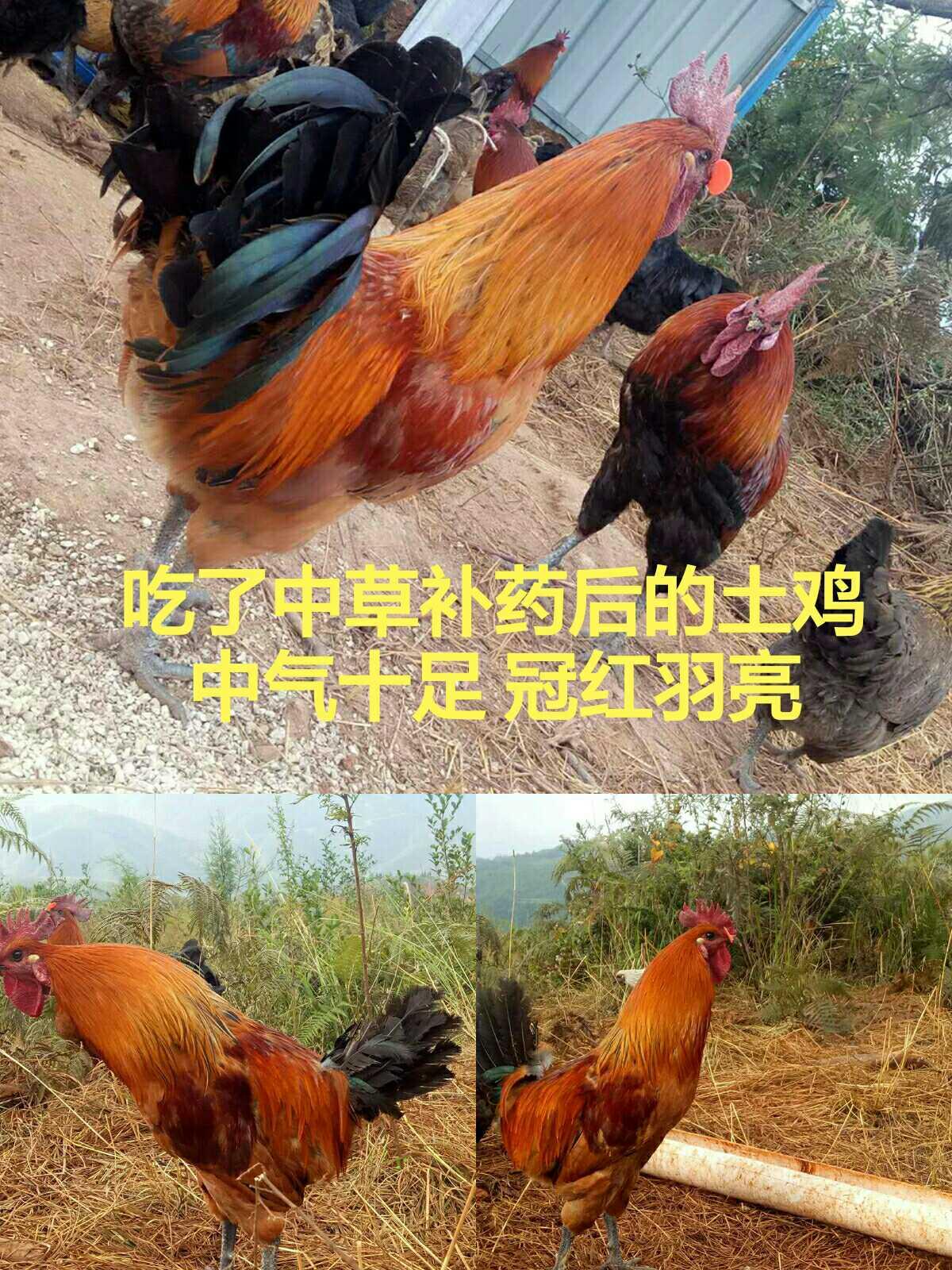 Китайский травяной куриный питательный курица цыпленка с курицей Подлинная подлинная курица без Куаншанские черные костяные цыплята Курица цыпленка