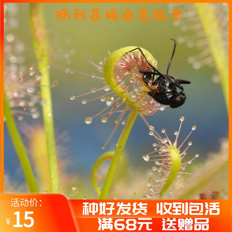 好望角茅膏菜白红宽叶小虫草堂食虫植物盆栽食虫草室内捕蝇草大型