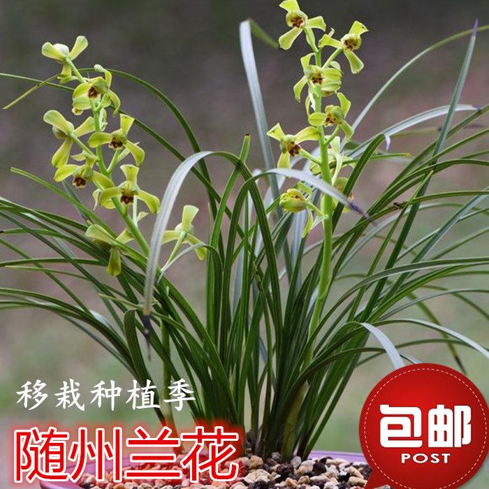 兰花苗春兰盆栽 带花苞浓香型蕙兰九头兰兰草 室内四季绿植花卉土