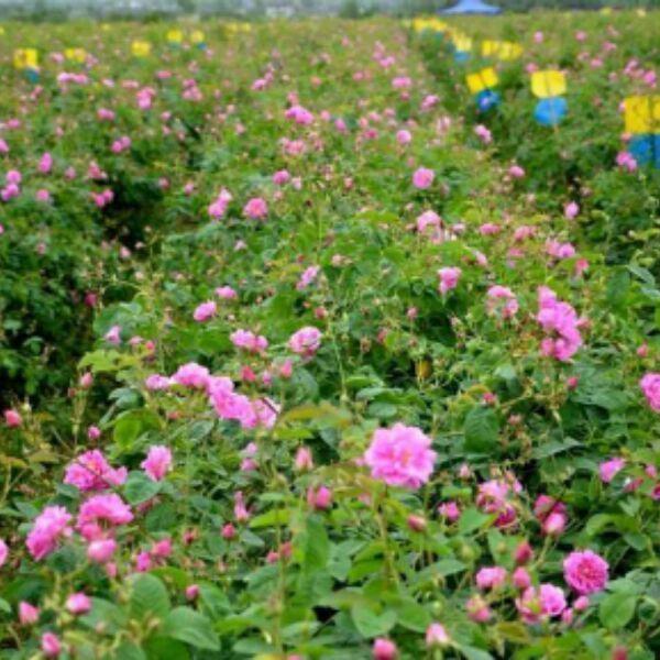 基地直销保加利亚大马士革玫瑰鲜花500g 每年4月花期今年花期已过