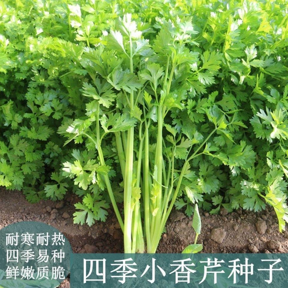 四季小香芹种子种籽苗芹菜小芹籽种蔬菜菜种阳台幼苗孑菜籽秧苗菜