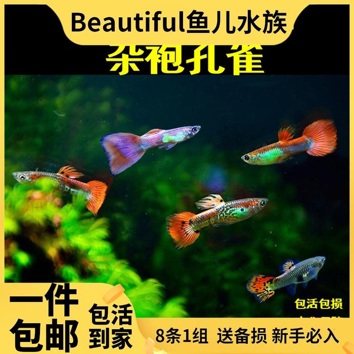 新手孔雀鱼活体包邮杂袍孔雀小型胎生热带鱼观赏鱼练手鱼淡水宠物
