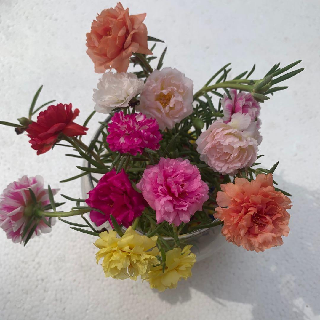 太阳花种子松叶牡丹重瓣长年开花阳台花吊兰绿植盆栽花卉