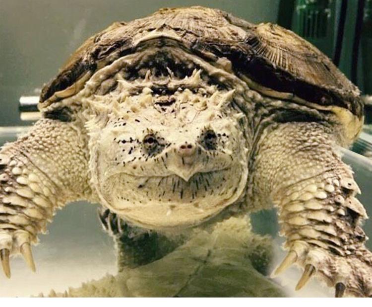 原种后 野佛 纯佛 小鳄龟苗纯佛鳄龟活体乌龟 佛鳄满50.00元可用1元优惠券