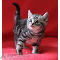 美短猫活体纯种猫短毛猫美国猫银虎斑猫美短加白起司猫宠物猫咪x