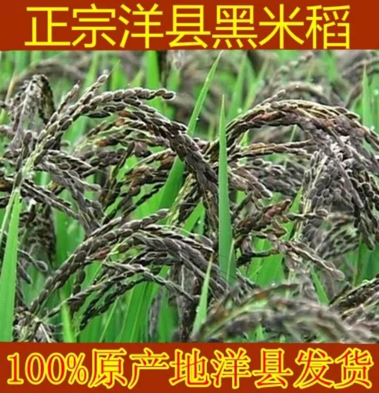 正宗洋县黑稻谷黑米种子水稻高产种子500克黑米稻种子送资料