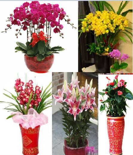 连云港市海州区本地花卉蝴蝶兰惠兰盆栽生日节日送礼观赏花送货
