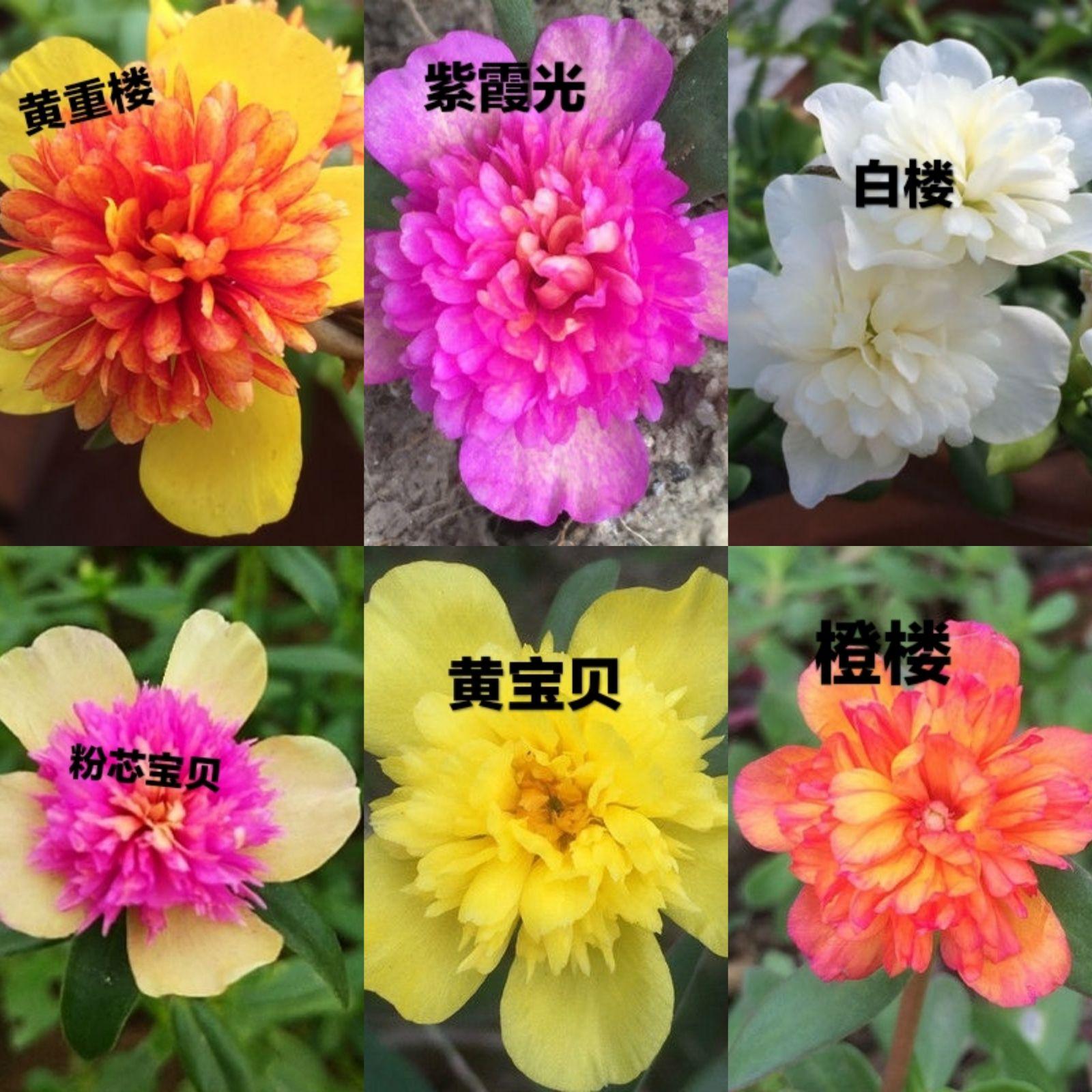 闊葉重樓太陽花重瓣盆栽花苗植物宿根開花不斷陽臺庭院帶花苞發貨