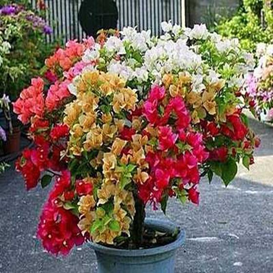 三角梅苗四季种植阳台庭院爬藤花卉攀援花卉植物重瓣大苗颜色多样