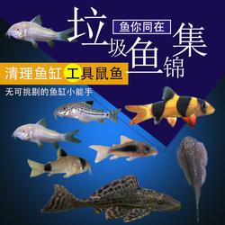 底栖鱼清道夫垃圾白老鼠鱼熊猫珍珠鼠金苔鼠清洁观赏热带宠物活体
