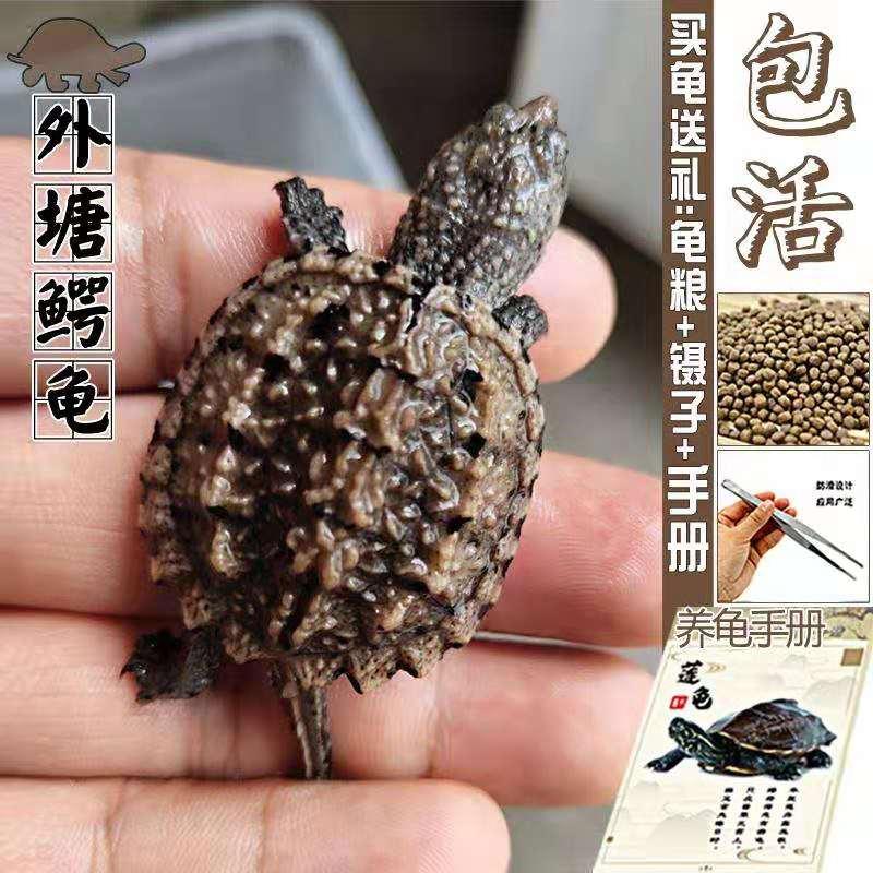 鳄龟苗宠物乌龟活体凶猛鳄鱼龟杂佛原种进口纯佛超爆刺北美小鳄龟限100000张券