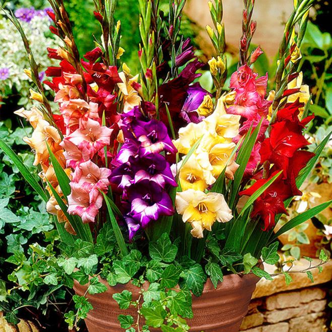 Цветочные луковицы Артикул 590606590858
