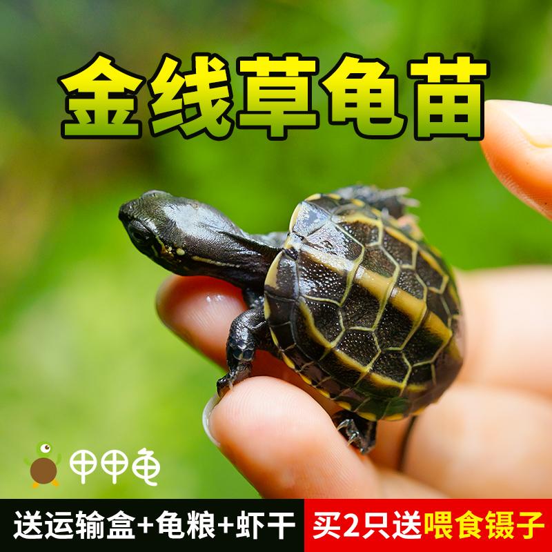 甲甲龟金线草龟小乌龟苗中华草龟外塘宠物墨龟招财长寿深水龟活物