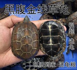 中华黑腹草龟 金线龟墨龟活物 情侣龟长寿放生招财乌龟活体 包邮图片