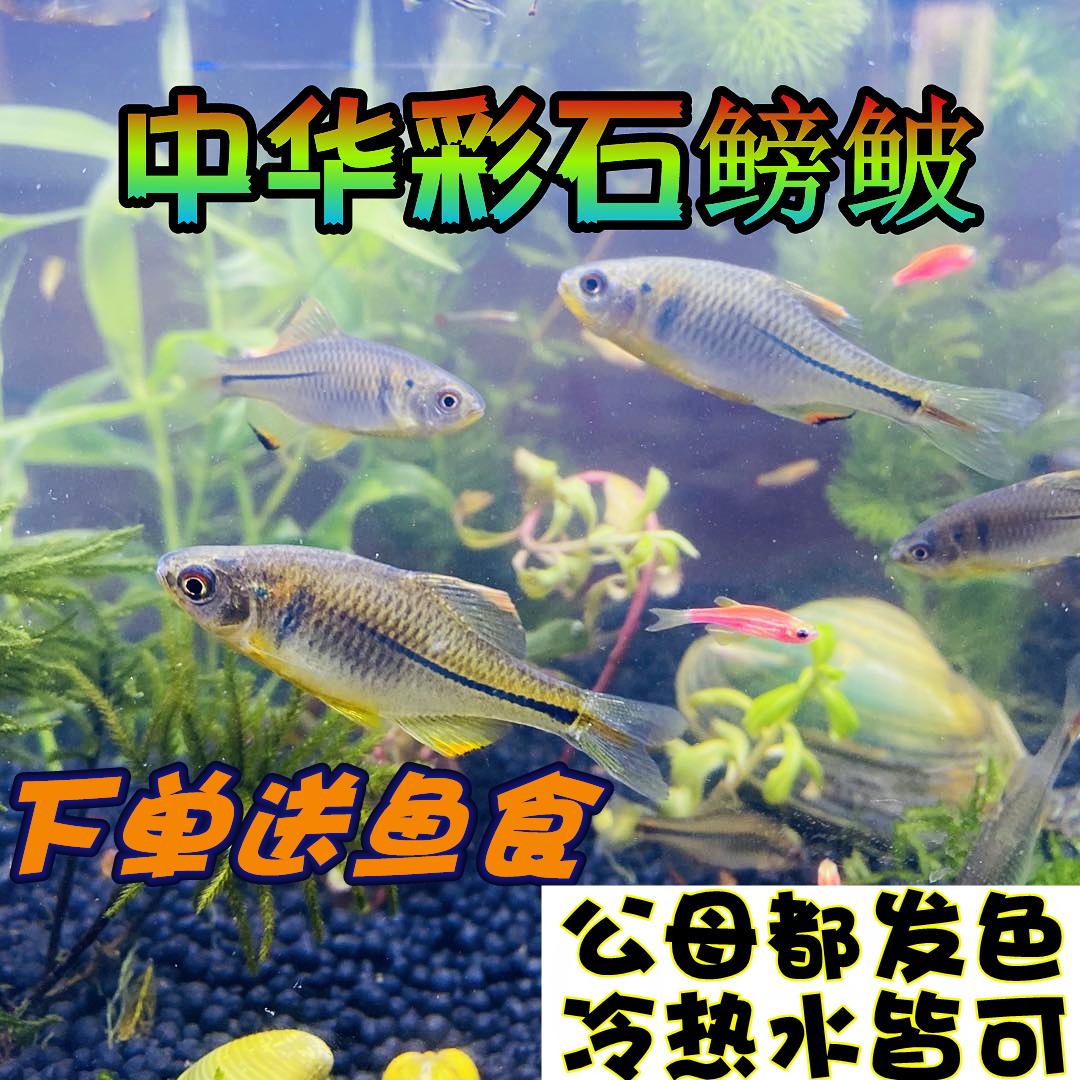 中华彩石鳑鲏旁皮除藻观赏鱼活体水族宠物原生鱼群游小型淡水冷水