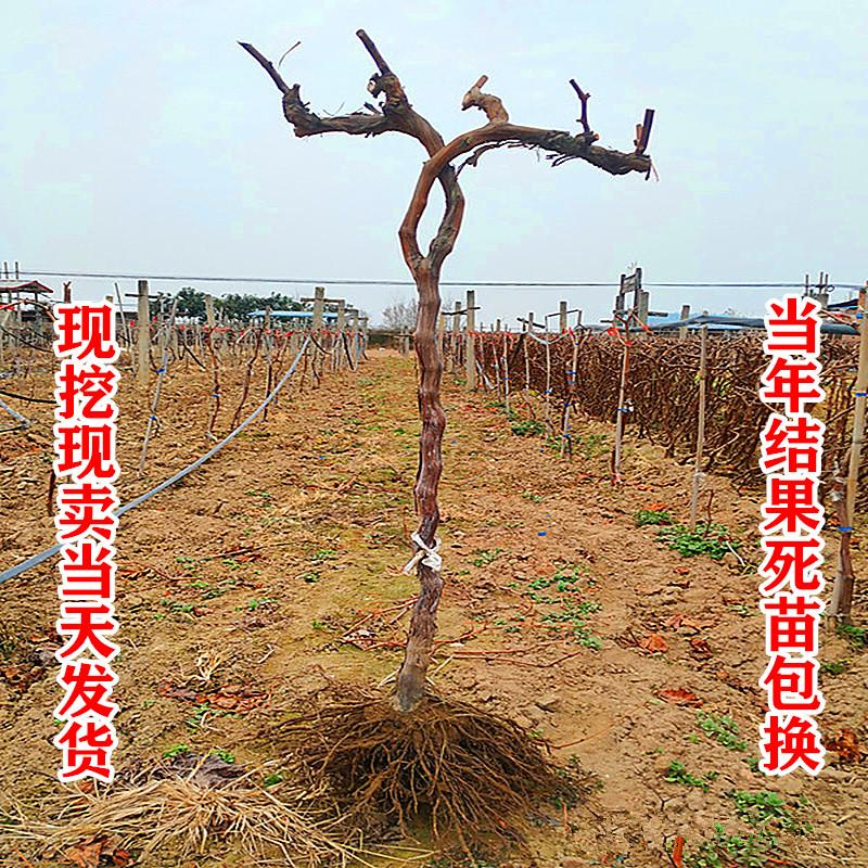 特大のブドウの苗木は藤戸県の戸太8号の巨峰の盆栽の南北の方角に登ります。