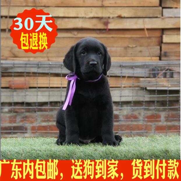 拉布拉多犬广州幼犬广州拉不拉多幼犬狗狗神犬小七同款宠物狗6