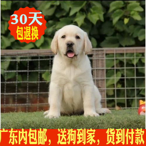 拉布拉多犬广州幼犬广州拉不拉多幼犬狗狗神犬小七同款宠物狗4