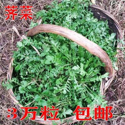 荠菜种籽野菜蒲公英的种子春夏四季阳台盆栽庭院易种植蔬菜种孑