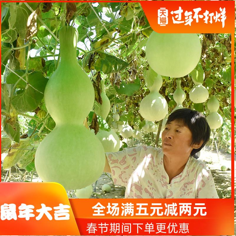 特大巨型葫芦种籽手捻八宝葫芦种子苗观赏阳台盆栽爬藤植物种孑