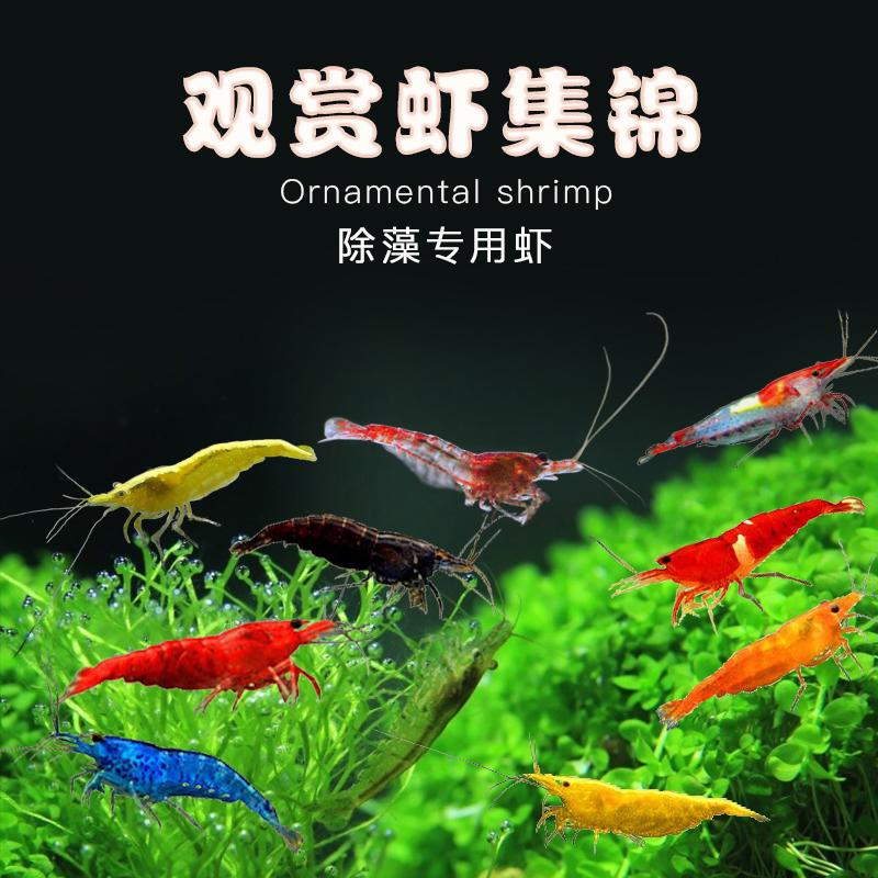 小型鱼观赏虾黑壳虾极火虾草樱花虾