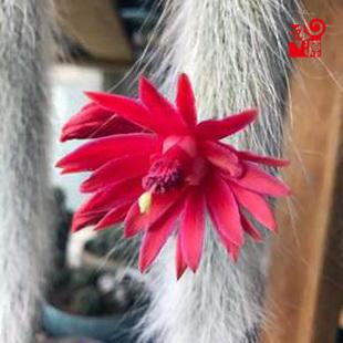 猴尾柱九尾狐多肉仙人球浓白毛九尾狐软毛猴尾巴奇趣植物
