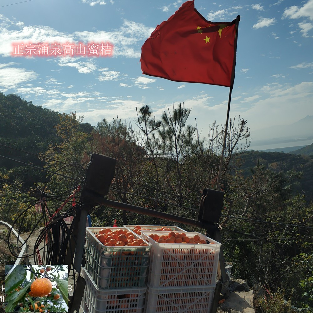 Yongquan Gaoshan tangerine Linhai early maturing Gongchuan seedless citrus fresh fruit thin skinned farm direct selling