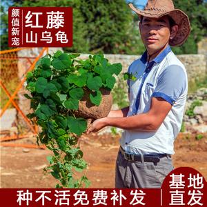 红藤山乌龟金不换植物办公室内圆叶盆栽云南多肉花卉水培爬藤绿植
