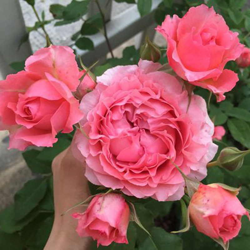 Pink big flower fragrant rose coral jelly balcony flowers potted in four seasons rose seedlings not drooping head sun proof
