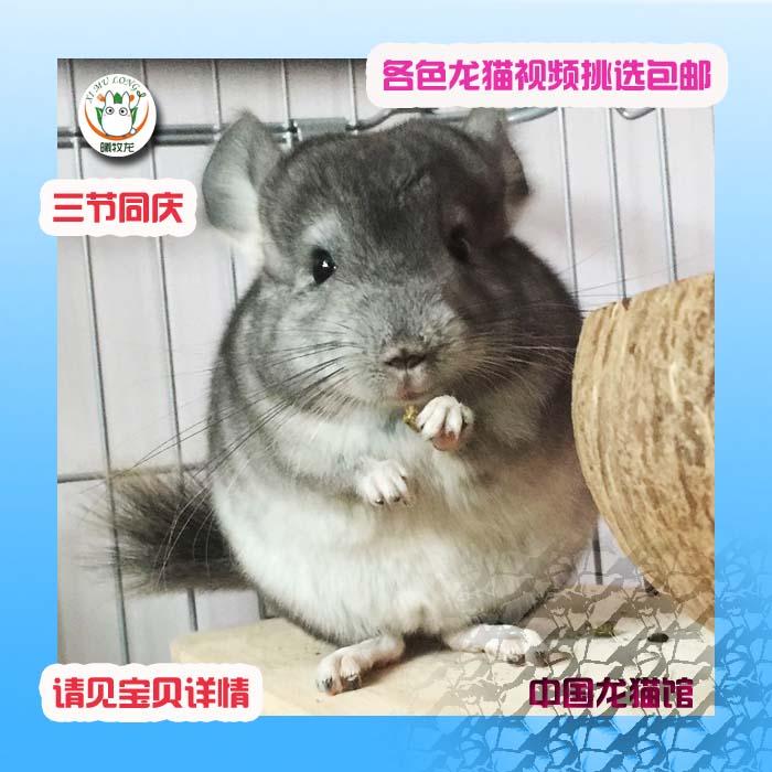 包邮二三月紫灰银斑标灰龙猫活体宝宝自家繁殖宠物活物小幼崽亲人图片
