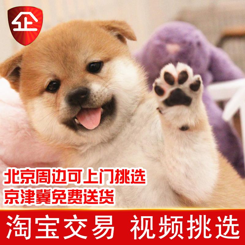 【試養後付対応】柴犬の幼犬の純種日本の生きたペットの犬黒い豆柴秋田の幼犬