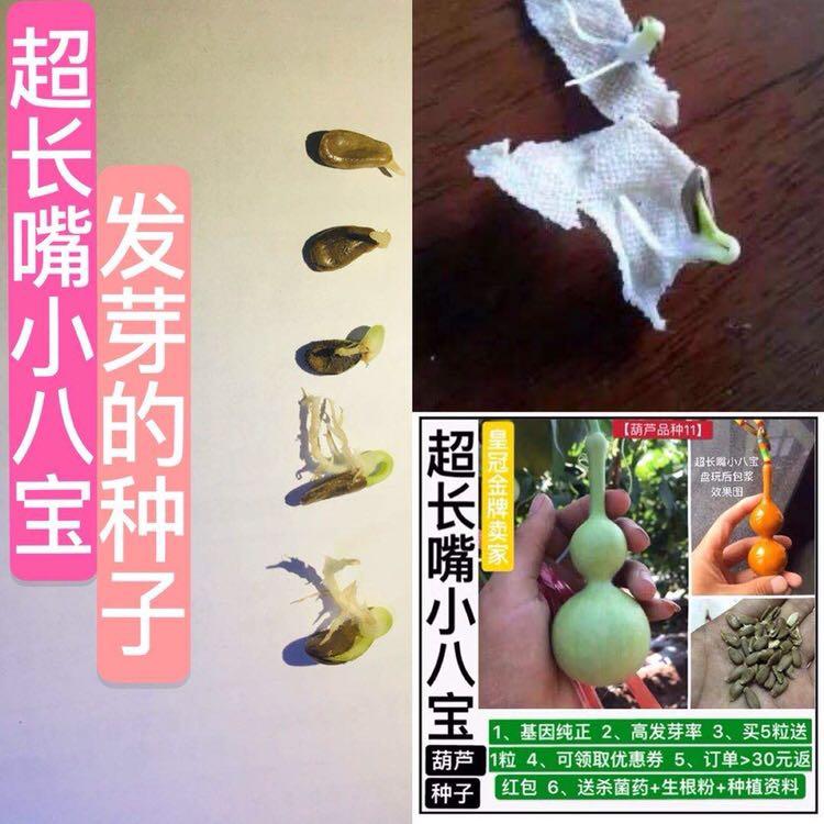 葫芦苗盆栽三挺天津嘴2送5买1送3买种子籽超长嘴小八宝发了芽