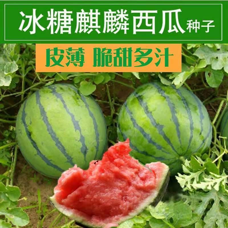 Qilin watermelon seed super large South Yellow flesh rock sugar watermelon seed precocious lazy watermelon seed sweet Wang farmer