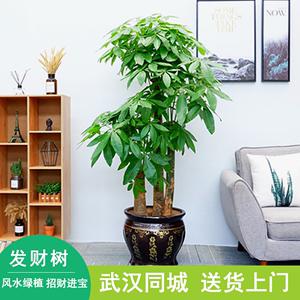 武汉开业乔迁送礼绿植大型发财树盆栽客厅室内办公室招财植物花卉