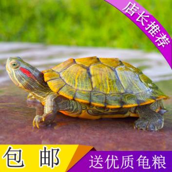 一对活物观赏网红小乌龟活体小萌宠物淡水游泳龟招财龟巴西龟龟粮