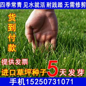 草坪种子四季常青黑麦草马尼拉狗牙根草籽庭院护坡绿化草皮草种子